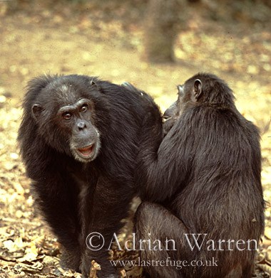 Chimpanzee (Pan troglodytes) : Goblin- male 29 yrs, being groomed by -Fifi- female 36 yrs, Gombe Tanzania, 1993