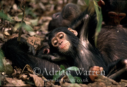 Chimpanzee (Pan troglodytes) : Ferdinand- 1 yr male, Gombe Tanzania, 1993