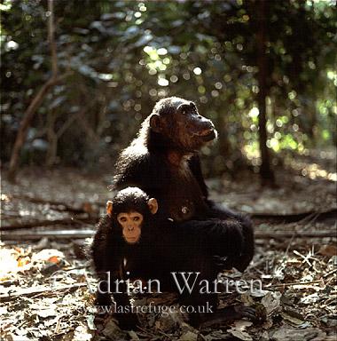 Chimpanzee (Pan troglodytes) : Fifi- and 1 year old -Ferdinand-, Gombe Tanzania, 1993