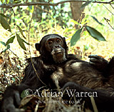 Chimpanzee (Pan troglodytes) : Freud- alpha male 23 yrs, in night nest, Gombe Tanzania, 1993