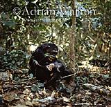 Chimpanzee (Pan troglodytes), Gombe Tanzania, 1993