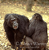 Chimpanzee (Pan troglodytes) : Goblin- male 29 yrs, being groomed by -Fifi- female 36 yrs, Gombe Tanzania, 1993