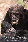 Chimpanzee (Pan troglodytes) : Prof- grooming brother -Pax-, Gombe Tanzania, 1993