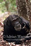 Chimpanzee (Pan troglodytes) : Gigi- female 39 yrs, Gombe Tanzania, 1993