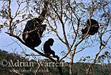 Chimpanzee (Pan troglodytes) : Fifi- and -Faustino-, Gombe Tanzania, 1993