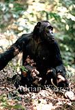 Chimpanzee (Pan troglodytes) : Fifi- with -Ferdinand- 1 yr, Gombe Tanzania, 1993