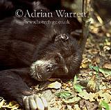 Chimpanzee (Pan troglodytes) : Goblin- ex-alpha male 29 yrs, Gombe Tanzania, 1993
