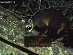 Northern Raccoon (Procyon lotor), Llanos, Venezuela