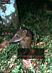 South American Coati (Nasua nasua), R. Amazon, Brazil, 1973