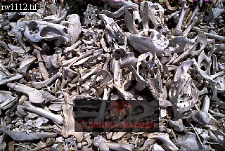 CAPYBARA (Hydrochoerus hydrochaeris): Carcasses after an Annual Slaughter , Llanos, Venezuela, 1980