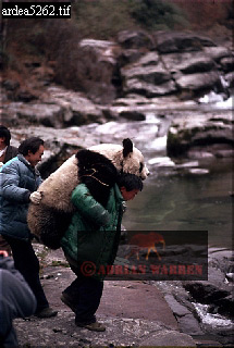 Giant PANDA Research, Qinling Mts. China, Shaanxi, China, 1993