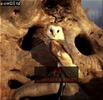 Barn OWL (Tyto alba), England