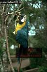 Blue and Yellow MACAW (Ara ararauna), Park Nacional Canaima, Venezuela, 1976