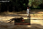 KOMODO DRAGON (Varanus komodensis): Feeding time, Komodo Island, Indonesia