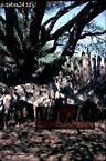 Grevy's ZEBRA (Equus grevyi) newly captured, Samburu, Kenya