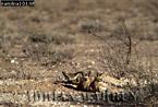BAT-EARED FOX (Otocyon megalotis), Etosha National Park, Namibia