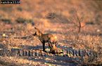 BAT-EARED FOX (Otocyon megalotis), Etosha National Park, Namibia