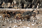 BLACK-BACKED JACKAL (Canis mesomelas) on kill, Etosha National Park, Namibia