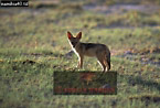 BLACK-BACKED JACKAL (Canis mesomelas); Cub, Etosha National Park, Namibia
