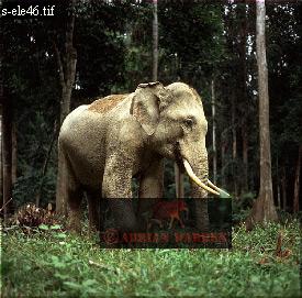 proboscidea, elephantidae, asian wildlife, animal, mammal, asia
