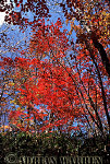 RED MAPLE in Autumn, South Korea