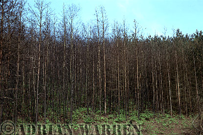 Burnt PINE FOREST, Hurtwood, Surrey, England