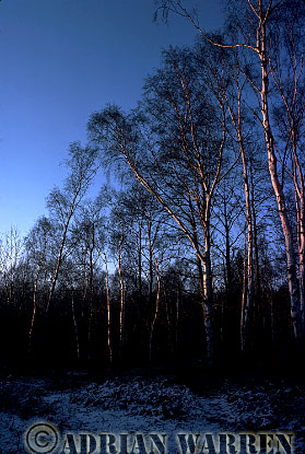 BIRCH TREES in Winter, Surrey, England