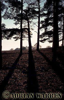 PINE TREES in Winter, Surrey, England