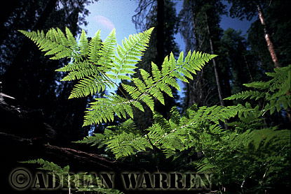FERN, Sequoia National Park, California, USA
