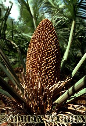 CYCAD (Cycas media), Queensland, Australia