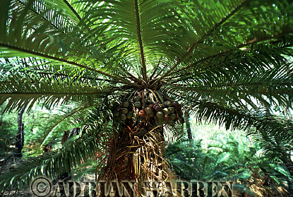 CYCAD (Cycas media), Queensland, Australia