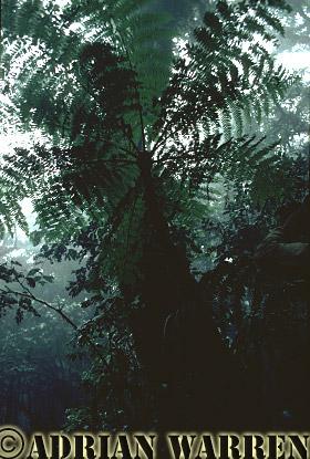 TREE FERN, Cloud Forest, Costa Rica