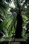 TREE FERNS (Dicksonia antarctica), Victoria, Australia