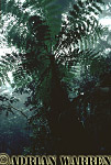 TREE FERN, Cloud Forest, Costa Rica