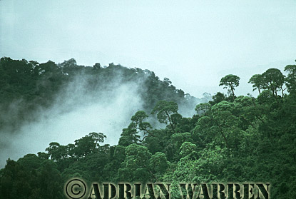 Forest, home of Mountain Gorilla, Virunga Volcanoes, Rwanda, 1991