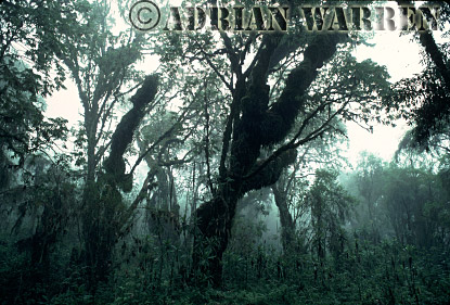HAGENIA FOREST, Mountain Gorilla Habitat, Virunga Volcanoes, Rwanda, 1990