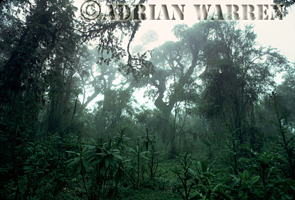 HAGENIA FOREST, Mountain Gorilla Habitat, Virunga Volcanoes, Rwanda, 1990