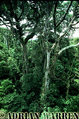 Forest interiors of South America : FOREST, Monteverde, Costa Rica