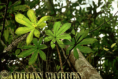 Forest interiors of South America : Leaves, Tropical Rain Forest, Rio Jurua, Brazil