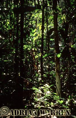 Forest interiors of South America : RAIN FOREST, Rio Jurua, Amazon, Brazil