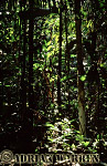 Forest interiors of South America : RAIN FOREST, Rio Jurua, Amazon, Brazil