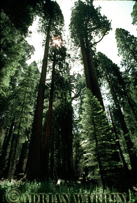 Giant SEQUOIAS, Sequoia National Park, California, USA