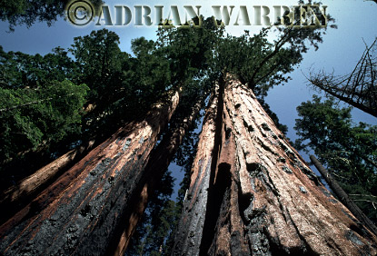 Giant SEQUOIAS, Sequoia National Park, California, USA