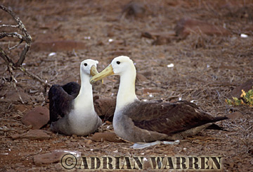 WAVED ALBATROSS (Diomedea irrorata), Hood Island, Galapagos, Ecuador