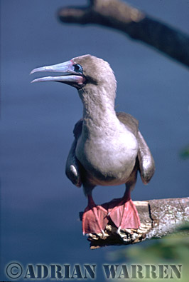 Red-footed Booby (Sula sula), Tower Island, Galapagos, Ecuador