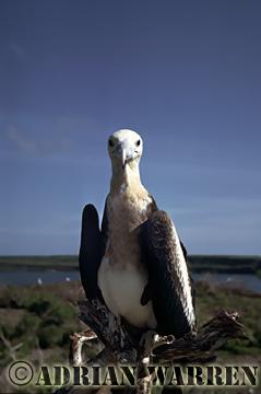 Young GREAT FRIGATEBIRD (Fregata minor), Tower Island, Galapagos, Ecuador