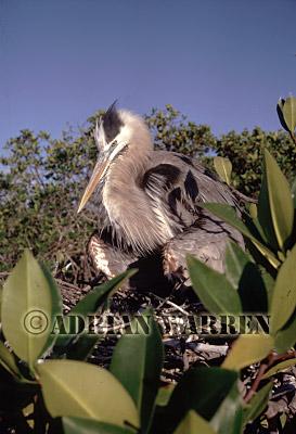 GREAT BLUE HERON (Ardea herodias), Pointa Espinosa, Fernandina, Galapagos, Ecuador