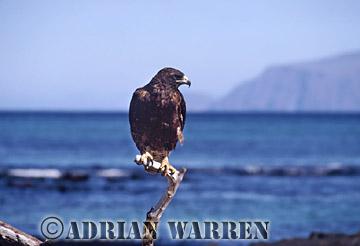 Galapagos Hawk (Bueo galapagoensis), Pointa Espinosa, Fernandina, Galapagos, Ecuador