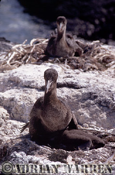 Flightless Cormorant with Young (Nannopterum harrisi), P. Espinosa, fernandina, Galapagos, Ecuador