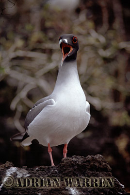 Swallow-tailed Gulls (Creagus furcatus), Champion Island, Galapagos, Ecuador